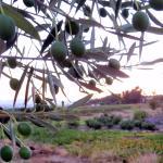 Mallowdeen Gardens Olives