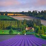 Eynsfords lavender fields