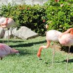 Flamingos by the tennis courts