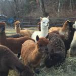Photo de Bella Alpacas