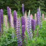 Lovely Lupines