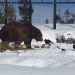 Photo de Grizzly and Wolf Discovery Center
