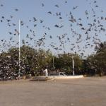 Pigeons fly like in a Bollywood Film