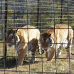 Turpentine Creek Wildlife Refuge Foto