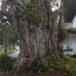 Fig tree at Russell.