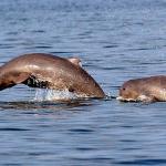 Dophin in kratie province