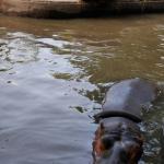 Les hippo