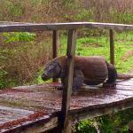 We saw this Komodo dragon walking across the footbridge on Komodo Island.