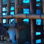 We have over 50 goats of different breeds