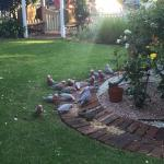 Galahs that came to have a feed just before dinner. When we came back, ducks had taken over.