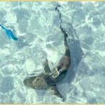 Jagender Hai in der Lagune; Schwarzspitzen Riff Hai ca 1,5 m: völlig ungefährlich
