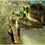 10 cm große Krabbe