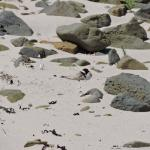 An endangered species of plover nests on this beach