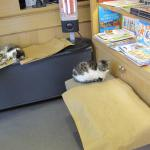 Kittens in the museum store