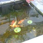pesci rossi zen