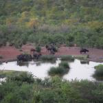 Buffalo at the water hole