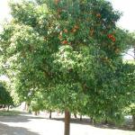 Апельсиновое дерево на Авентинском холме