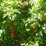 На одном дереве плоды сосдствуют с цветами
