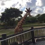 jirafas esperando sus lechugas