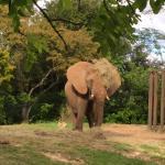 Elefante jugando a la escondida
