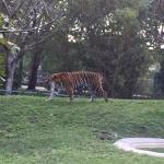 Tigre en su palacio