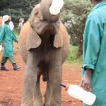 An injured elephant - front right leg