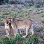 Löwinnen unter sich