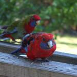 Crimson Rosella on the deck. They are so friendly!