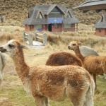 alpaca grazing around the lodge