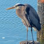 Great Grey Heron on a piling near the walking deck.