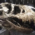 Tyranosaurus Rex-Schädel