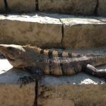Lots of iguanas everywhere