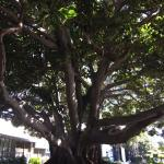 majestic fig tree greets you
