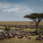 The Great Migration passing by Sayari Camp