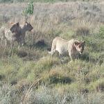 Lion Cubs 11 months ish
