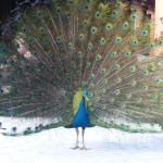 One of the beautiful peacocks