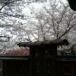 古い板塀と桜