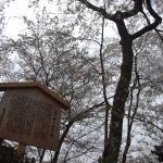 これが西行桜