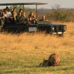 Lion on a game drive