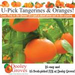 U-Pick Tangerines and Oranges March & April