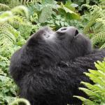 A silverback gorilla taking a nap