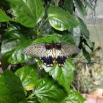 In the butterfly exhibit. This guy landed on me for awhile.