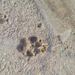 Hyena tracks in the lodge