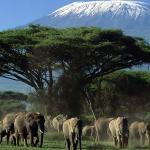 Elephants in the Amboseli