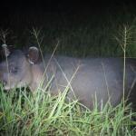 Tapir seen at night at Sirena Station