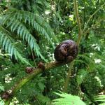 Budding fern