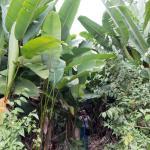 Side trail through banana plants