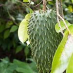 Guanabana (Sour Sop) tree near second mound