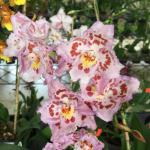 Ecuagenera - Orquideas del Ecuador
