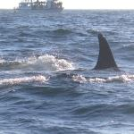 Orca feeding on salmon from the boat
